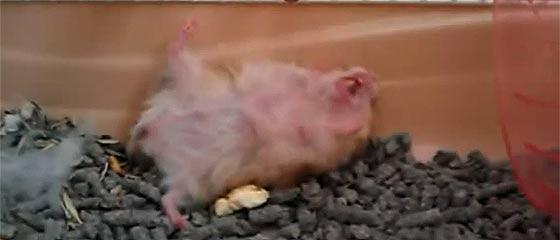 【動画】これは可愛い!指のピストルで撃たれるとバタバタと倒れていくハムスターたちの、とても愛らしい映像