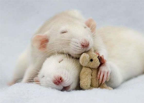 rats-teddy-bears10