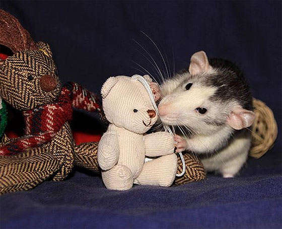 rats-teddy-bears19