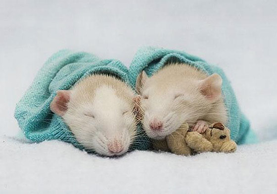 rats-teddy-bears4.