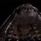 【動画】猛禽類である1羽のタカが獲物に襲い掛かるかのように風船を鷲掴みにする様を、スローモーションでドラマチックに編集した映像
