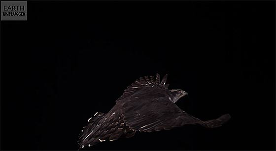 hawk-attacks-balloon-in-super-slow-motion-slo-mo-earth-unplugged1