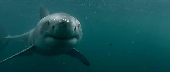 【動画】GoProを装着して崖の上からダイブ!悠々と泳いでいる所を撮影するつもりが、あわや大きなホホジロザメに喰われそうになる驚きの映像