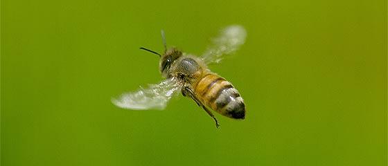 【動画】羽の動きもハッキリ分かる!フワフワモコモコとした可愛らしいセイウヨウミツバチの羽ばたきを撮影した、超スローモーション映像