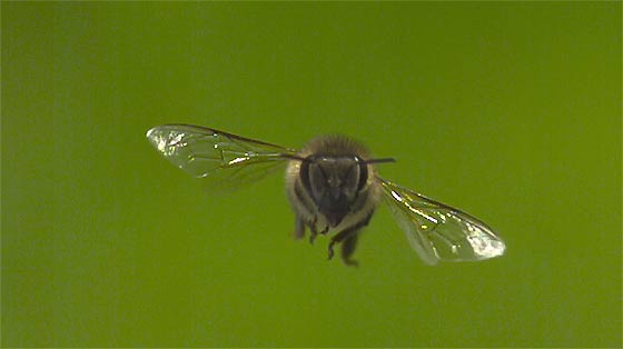 apis-mellifera-honey-bee-a-high-speed-short1