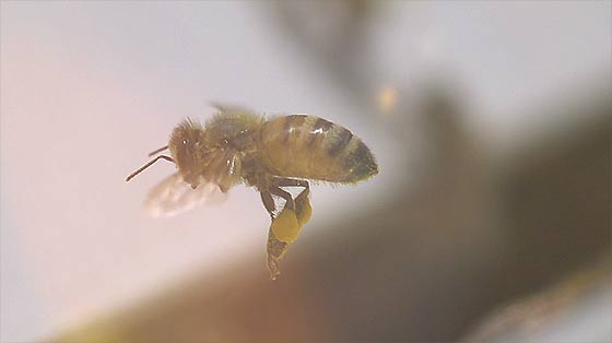 apis-mellifera-honey-bee-a-high-speed-short2
