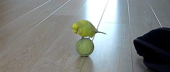 【動画】まるで曲芸師?!テニスボールに乗ってチョコチョコと歩き回る、とっても可愛いインコの映像