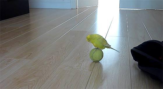 budgie-balancing-trick1