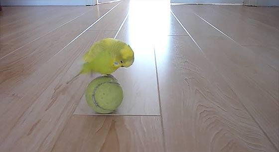 budgie-balancing-trick2