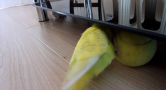 budgie-balancing-trick3