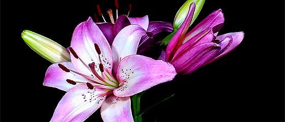 【動画】ゆっくりゆっくりと花開いていく様が美しい!様々な蕾が花開いていく様を収めた、とってもアーティスティックなタイムラプス映像『 Flowers opening timelapse 』