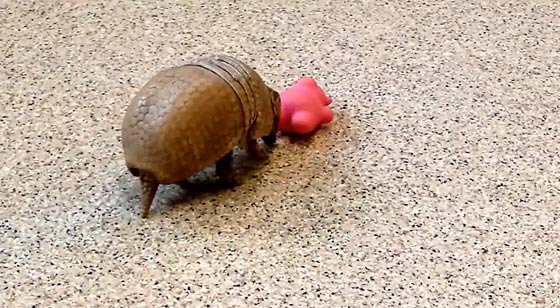 an-armadillo-playing-with-his-toy-of-pig1