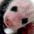 【動画】タイペイ動物園で生まれた、とっても可愛いパンダの映像