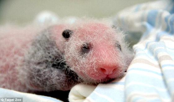 タイペイ動物園で生まれた、とっても可愛いパンダの映像1