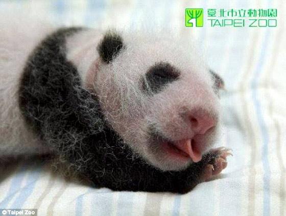 タイペイ動物園で生まれた、とっても可愛いパンダの映像2