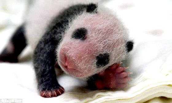 タイペイ動物園で生まれた、とっても可愛いパンダの映像5