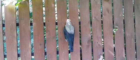 【動画】どうしてこうなった…。フェンスの間に首がすっぽりと挟まってしまった1羽の鳥の物語