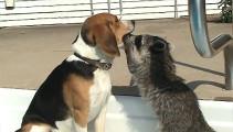 犬の口の中まで手や顔を突っ込んで、エサを探す可愛いアライグマ2
