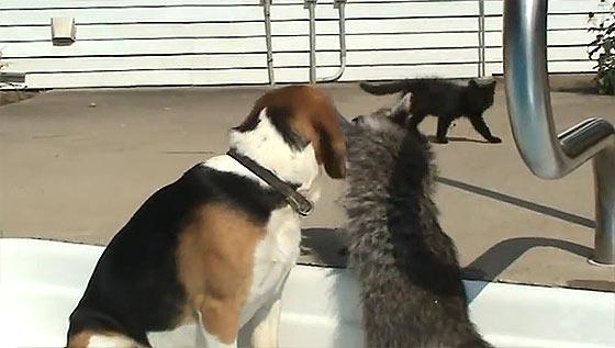 犬の口の中まで手や顔を突っ込んで、エサを探す可愛いアライグマ4