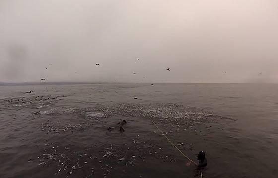 間一髪!危うくザトウクジラに食べられる所だったダイバー達の映像4