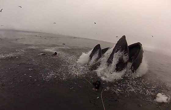 間一髪!危うくザトウクジラに食べられる所だったダイバー達の映像5