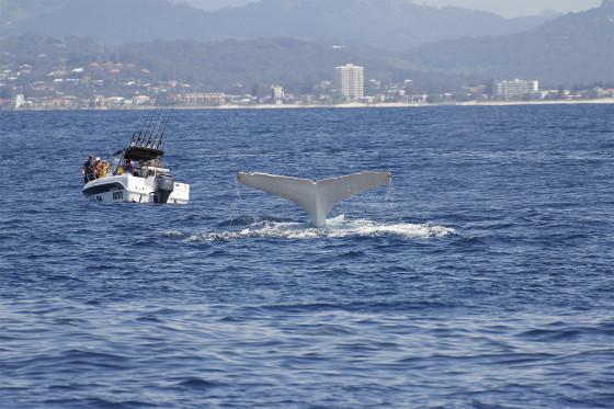 これは神々しい...オーストラリア近海で発見された、真っ白なアルビノのザトウクジラの映像と写真12