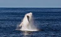これは神々しい...オーストラリア近海で発見された、真っ白なアルビノのザトウクジラの映像と写真4
