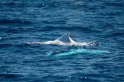これは神々しい...オーストラリア近海で発見された、真っ白なアルビノのザトウクジラの映像と写真7