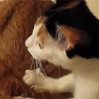 【動画】これは羨ましいっ!!プロの按摩師並みの手つきでコリを揉みほぐす、可愛い三毛猫によるほのぼの動画