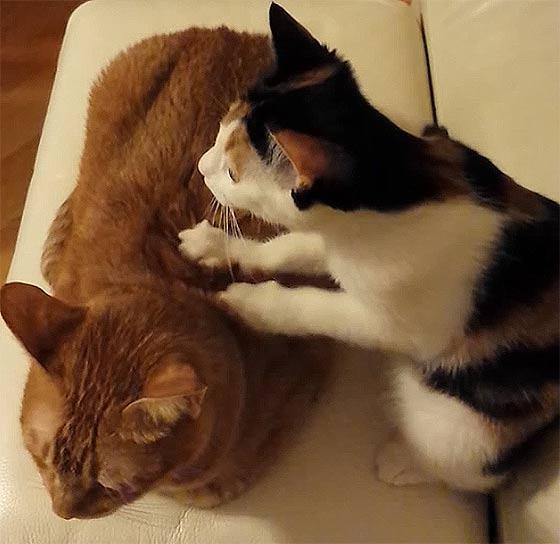 これは羨ましいっ!!プロの按摩師並みの手つきでコリを揉みほぐす、可愛い三毛猫によるほのぼの動画1