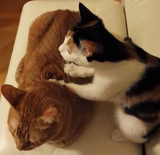 これは羨ましいっ!!プロの按摩師並みの手つきでコリを揉みほぐす、可愛い三毛猫によるほのぼの動画2