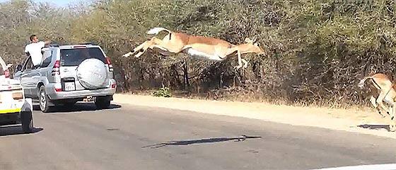 【動画】2頭のチーターに追われて逃げるインパラの群れの跳躍力と、辛くも逃げきったその方法が凄い