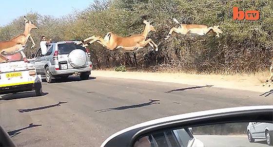 2頭のチーターに追われて逃げるインパラの群れの跳躍力と、辛くも逃げきったその方法が凄い2