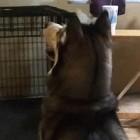 【動画】『バン!』と撃たれると断末魔の叫び声と共に倒れ込むハスキーが可愛い(*´ω`*)