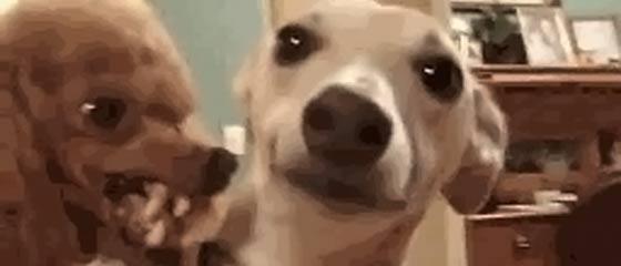 【GIF動画】世にも恐ろしい表情で舐める犬と舐められる犬のGIF動画
