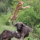 【動画】1頭のバッファローを襲うライオンが、助けに来たバッファローによって空中高く突き上げられてしまう映像