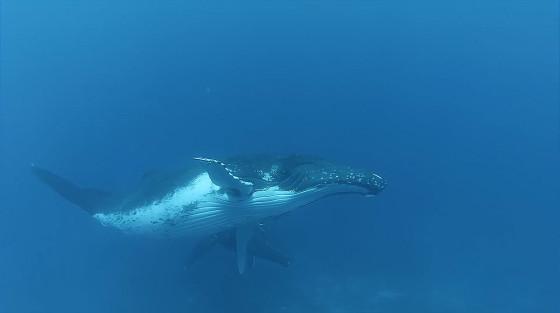 ビデオカメラ『GoPro』の、深い海の底でクジラの姿を捉えるキャンペーン動画7