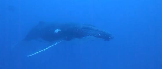 【動画】カメラが捉えたダイバーとザトウクジラの驚きの出会い