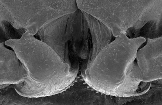 歯車は人間界だけでなく、自然界の意外な所にも存在した?!意外な虫の関節に、ちゃんと機能する歯車が存在する事が発見されました2