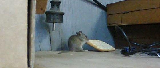 【動画】大きなクラッカーを自分よりも高い所へ持って帰りたいネズミが四苦八苦している映像
