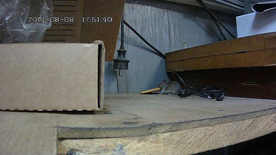 大きなクラッカーを自分よりも高い所へ持って帰りたいネズミが四苦八苦している映像2