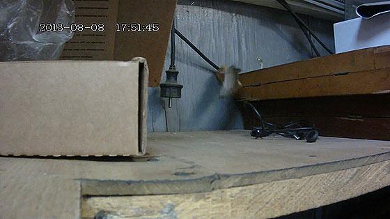 大きなクラッカーを自分よりも高い所へ持って帰りたいネズミが四苦八苦している映像3