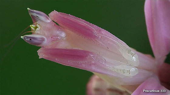 orchid-praying-mantis2