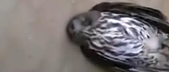 【動画】ガラスにぶつかって気を失っていたフクロウを優しく揺り起こしてみると…