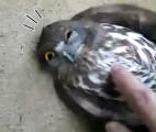 ガラスにぶつかって気を失っていたフクロウを優しく揺り起こす動画4