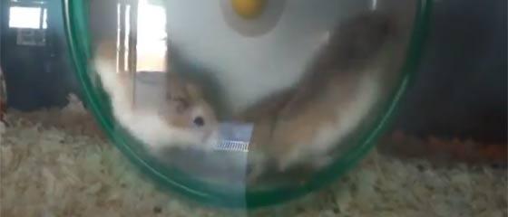 【動画】回し車にどうしても乗りたいハムスターが可愛い(*´ω`*)