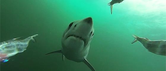【動画】何度も何度も餌に喰らいついてくる、恐ろしいアオザメの動画