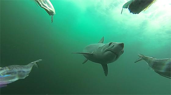 何度も何度も餌に喰らいついてくる恐ろしいアオザメの動画1