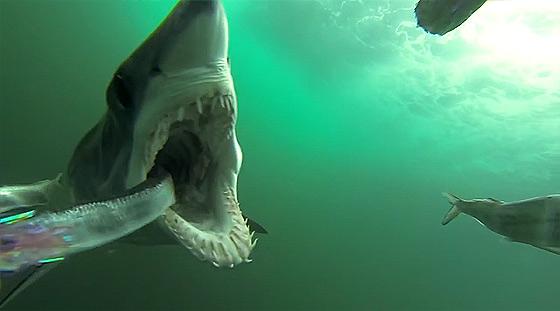 何度も何度も餌に喰らいついてくる恐ろしいアオザメの動画2