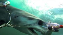 何度も何度も餌に喰らいついてくる恐ろしいアオザメの動画3
